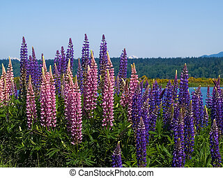 Alpin Lupins - a spread of wild Lupins