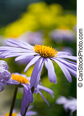 Alpine Aster - Aster alpinus or Blue Daisy