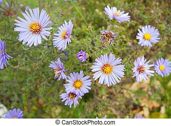 Alpine aster on flowerbed