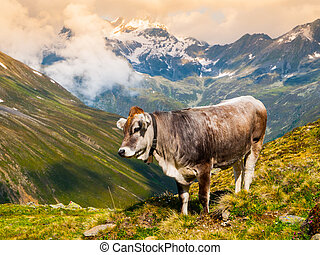 Alpine cow grazing in the mountains
