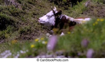 resting cow in alpine landscape