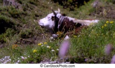 alpine cow - resting cow in alpine landscape