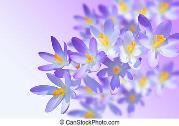 Alpine crocuses spring flowers on blurred background