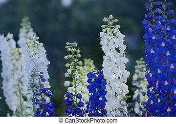 Alpine delphinium or candle larkspur. - Delphinium flower ...