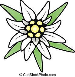 alpine edelweiss flower