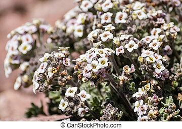 Alpine false candytuft (Smelowskia ovalis) wildflower ...