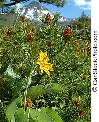 alpine flora - Flora in Waterton lakes NP, Canada.