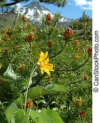 alpine flora - Flora in Waterton lakes NP, Canada.