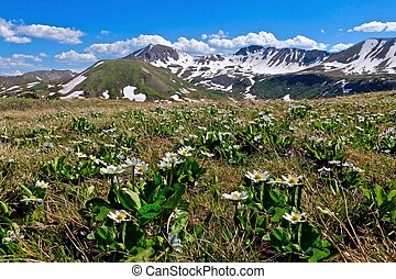 Alpine flowers and mountains. - White Marsh Marigold at...