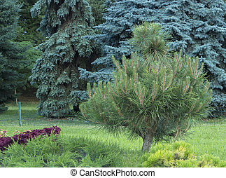 Alpine garden with dwarf conifers close up