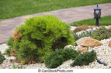 Alpine garden with dwarf conifers