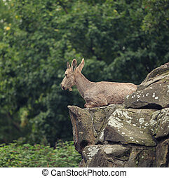 Alpine Ibex in the morning on mountain