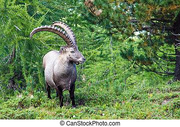 Alpine ibex in the swiss alps