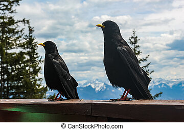 alpine jackdaws sit on the railing of the terrace of the restaurant near the Eisriesenwelt in the Austrian Alps