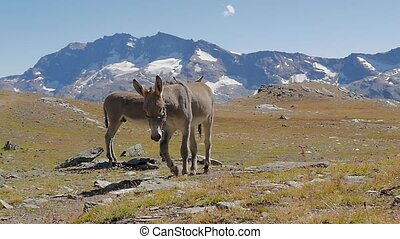 alpine landscape with mules