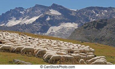 alpine landscape with sheep