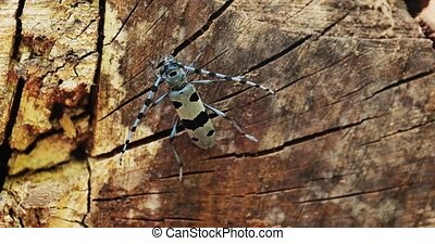 Alpine Longhorn Beetle, Rosalia Alpina longicorn in a forest in Hungary. Insect macro in the wood, crawling