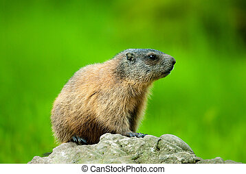 Alpine Marmot (lat. Marmota marmota) sitting on a rock with...