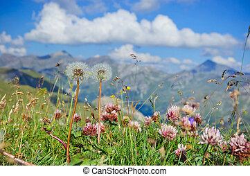 Alpine meadow closeup to the background Großglockner. ...