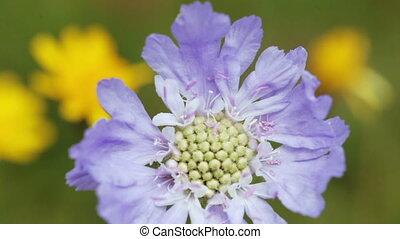 Alpine meadow flower - Closeup alpine violent and other...