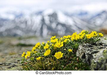 Alpine meadow in Jasper National Park - Alpine meadow with...