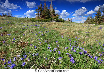 Alpine meadows in Wyoming - Meadows of wildflowers in the...