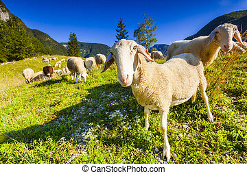 Alpine pastures in the Slovenian Alps. Triglav National Park...