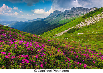 Alpine pink rhododendron flowers in the mountains, Bucegi, Carpathians, Romania