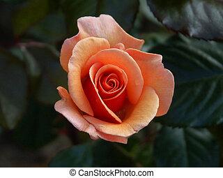 alpine rose 03