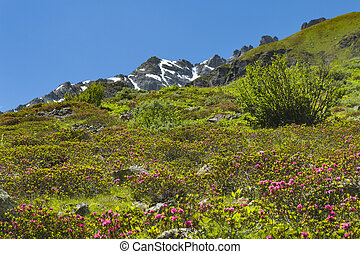 Alpine Roses in Summer, Austria
