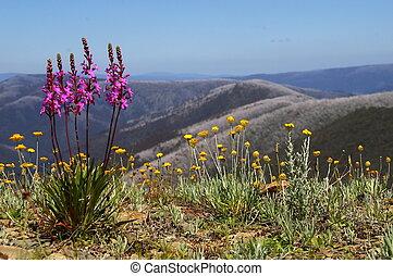 Alpine Scenery #2 - Alpine flowers