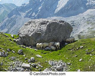 alpine sheep in the wetterstein