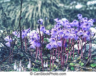Alpine Snowbell - Soldanella alpina. The one of first blossoms