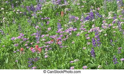 Alpine Wildflowers - Wildflowers in a high alpine meadow in...
