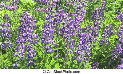 Alpine Wildflowers - Lupin wildflowers in the Canadian Rocky...