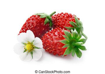 alpino, fresa, (fragaria, vesca)