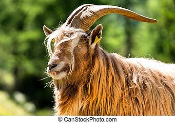 alpy, góra, -, samiec, goat, włoski