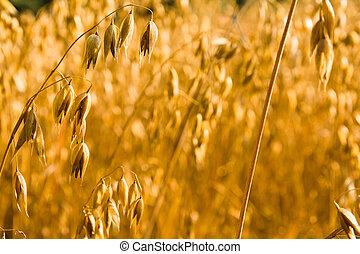 ripened oats - Already ripened oats, before the harvest ...