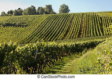 Alsace grapevines