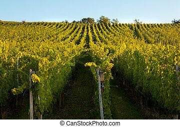 Alsace vines