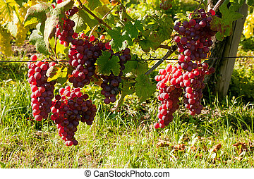 Alsace vineyard grapevine - Grapes hanging on an Alsace...