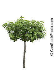 Alstonia Apocynaceae, a decoration tree isolated over white background