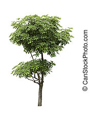 Alstonia Apocynaceae, a two level of decoration tree isolated over white background