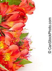 alstroemeria, fleurs