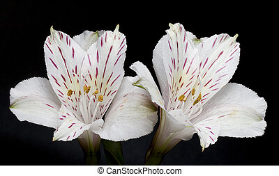 alstroemeria, fleurs, noir, deux, fond