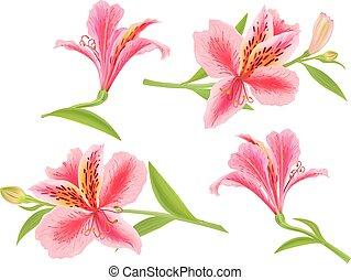 Alstroemeria flower. Eps10 format