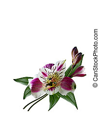 Alstroemeria flower isolated on white background