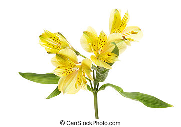 Alstroemeria flowers and foliage