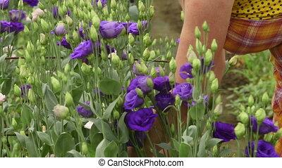 Alstroemeria in flower greenhouse