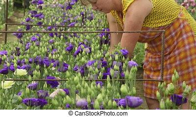 Alstroemeria in flower greenhouse - Female gardener working...